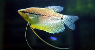 Tips Singkat Membudidayakan Ikan Sepat